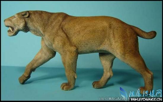 说起当今世界上最强壮的猫科动物那肯定是老虎了,今天小编就来给大家扒一下那些凶猛的猫科动物,都是猛兽为主的!很难想象,可爱的喵星人居然与它们是亲戚。   史前最大的猫科动物全家福:   这些史前的猫科动物我们只能在博物馆里看到或者根本就没见过,我在想这些动物有的看起来跟我们现在的一些动物很像,你还鉴别下吧。       剑齿虎   剑齿虎生活在大约10000年前的南非美洲,它的特点是嘴上有几颗军刀一般的牙齿。正常的剑齿虎的剑齿有28厘米长。它们的牙齿是用来捕获猎物的,但是其实它们的牙齿并不是特别的锋利。
