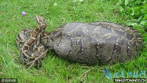 蟒蛇吞下动物后怎么消化?