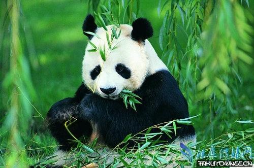 大熊猫不再是濒危动物了吗?