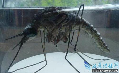世界目前为止发现的最大蚊子,蚊子的寿命一般有多长时间?