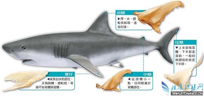 鱼翅是鲨鱼身上的什么部位?鲨鱼被割掉鱼翅后还能活吗?