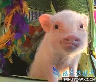 网红小猪Hank是什么品种?猪适合当宠物来养吗?