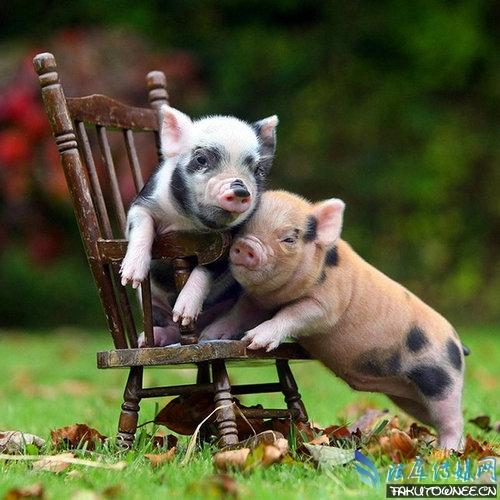 真有长不大的宠物猪吗?宠物猪的智商高吗?