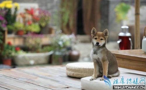 向往的生活中的小H是柴犬还是土狗?向往的生活和韩国的三时三餐有什么关系?