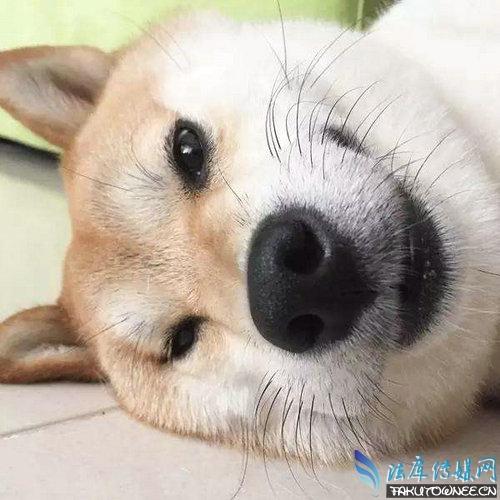 柴犬的智商高吗?柴犬和土狗最大的区别是什么?