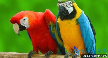 鹦鹉是要养一只还是养一对?鹦鹉为什么会学会说人话?