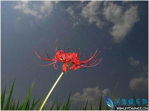 彼岸花的传说是什么?哪里能观赏到彼岸花海?