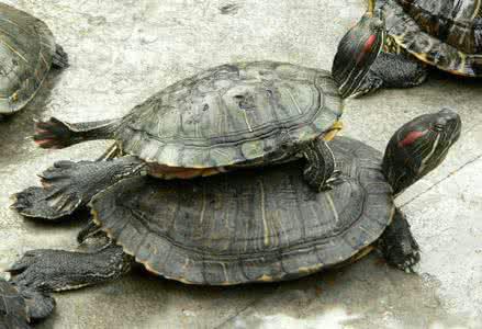 乌龟为什么喜欢叠在一起?放生乌龟有什么说法?