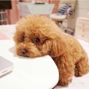 泰迪为什么被叫做泰日天?泰迪一年能生几窝小泰迪?