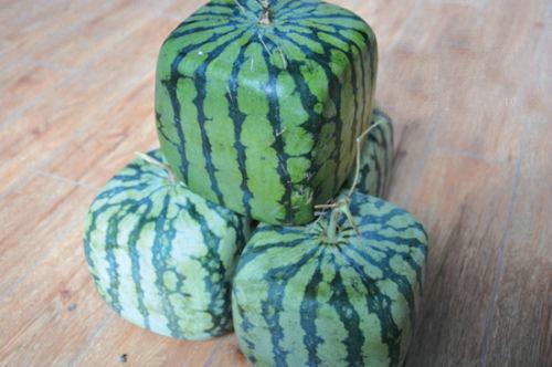 方形西瓜是怎么种出来的?方形西瓜比普通西瓜好吃吗?