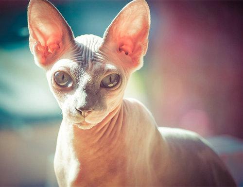 无毛猫为什么不长毛?斯芬克斯无毛猫多少钱一只?