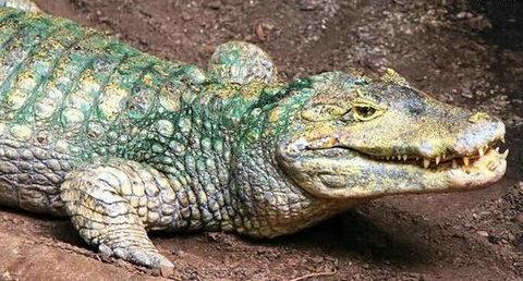 墨西哥一市长每年娶一只鳄鱼为哪般?鳄鱼会主动攻击人类吗?