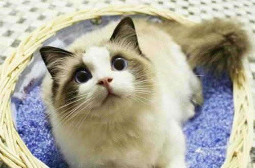 小狗猫是什么品种的猫?布偶猫是什么品种的猫杂交的?