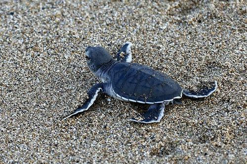 海龟在海中有天敌吗?海龟为什么可以那么长寿?