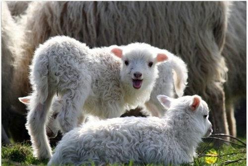 睡不着时候为什么要属羊?属羊睡觉到底管不管用?