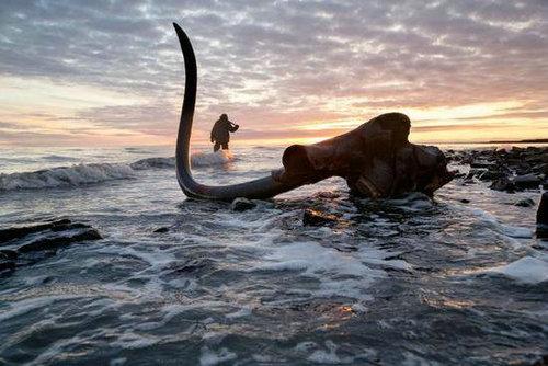 猛犸象复活计划靠谱吗?猛犸象当初是怎么灭绝的?