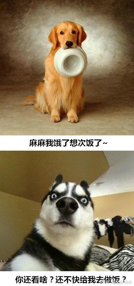 不同品种的狗狗性格也不一样,细数养金毛与养二哈的区别