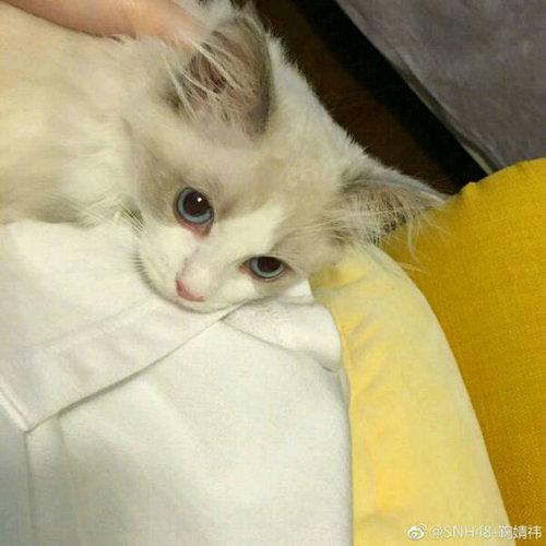 鞠婧�t喜欢的动物类型介绍,鞠婧�t家的猫是什么品种?