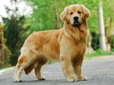 拉布拉多和金毛有什么区别?拉布拉多和金毛谁更聪明?