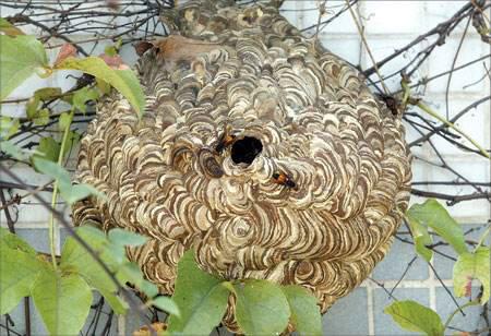 马蜂为什么会来家里筑巢?马蜂窝里面有蜂蜜吗?