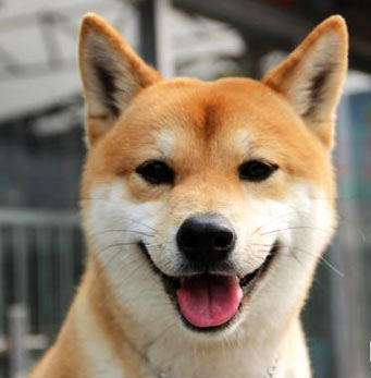 小柴是指的什么狗?柴犬为什么老是吐舌头笑?