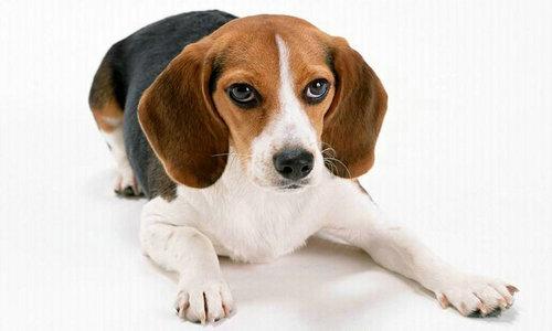 狗喜欢吃屎的原因是什么?狗吃屎该怎么教它?