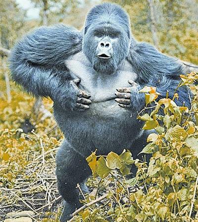 大猩猩为什么喜欢捶打胸口?成年的大猩猩有多重?
