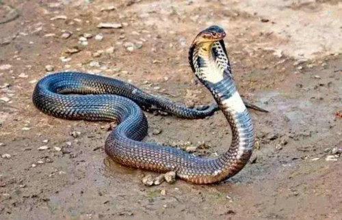 世界最美的横斑锦蛇什么样?横斑锦蛇有没有毒?