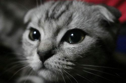 后院折耳猫是什么意思?折耳猫有先天的缺陷吗?