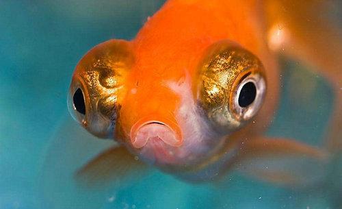 金鱼为什么养单不养双?金鱼怎么判断公母?