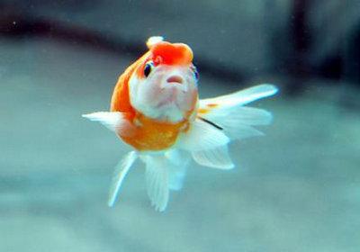 金鱼应该怎么喂食?金鱼喂食数量怎么把控?