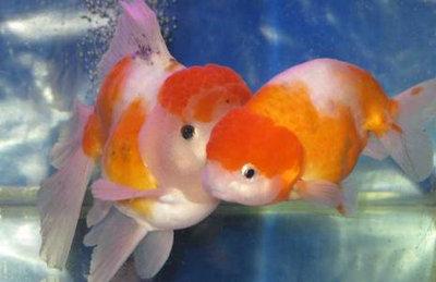 金鱼应该怎么喂食?金鱼喂食数量怎么把控