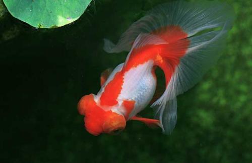 金鱼的寿命有多长?金鱼为什么不好养?