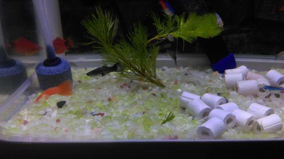 鱼缸石子变色是什么原因?观赏鱼的颜色变淡是怎么回事?