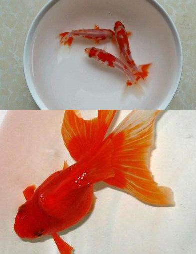 草种金鱼为什么比文中金鱼好养?草种金鱼可以和文中金鱼放在一起养吗?