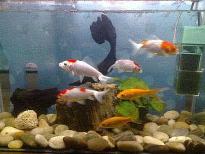 草种金鱼一天喂几次食?具体的投喂量是多少?