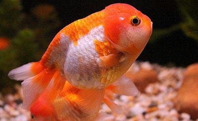 养金鱼需要给水加热吗?养金鱼水温多少适合?