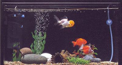 普通金鱼需要加氧吗?金鱼需要24小时全天加氧吗?