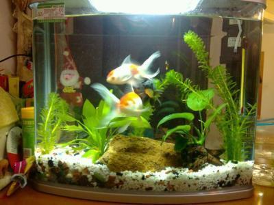 金鱼缸内可以养植物吗?金鱼鱼缸内养什么植物最好?