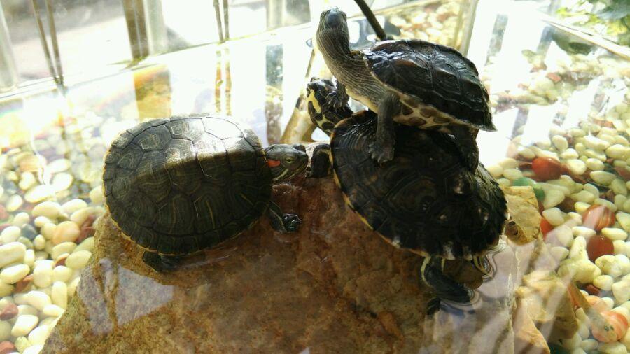 巴西龟多少温度养最好?巴西龟需要加热棒吗?