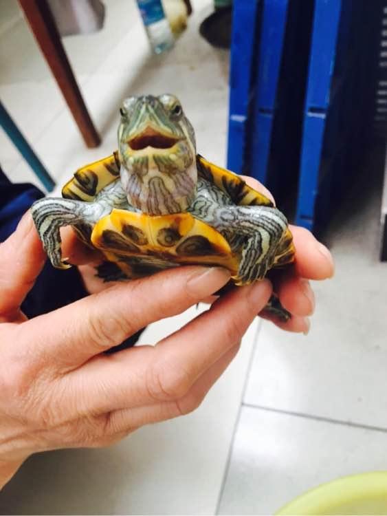 巴西龟张大嘴是怎么了?巴西龟为什么会得肺炎?