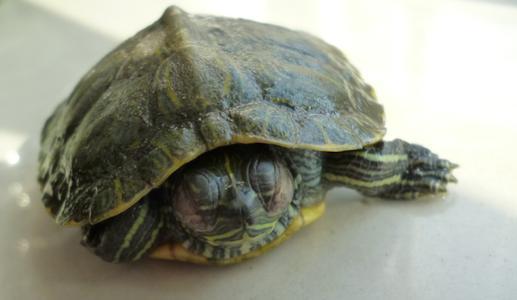巴西龟睁一只眼闭一直眼一定是白眼病吗?巴西龟白眼病能自己痊愈吗?