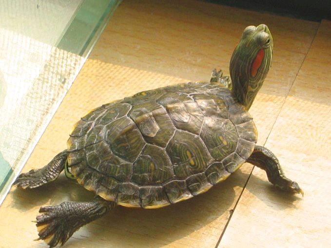 巴西龟不爱吃东西怎么办?巴西龟一顿应该吃多少?