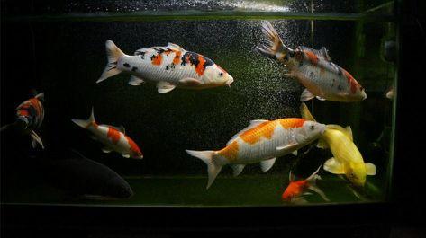 鱼缸中的白色絮状物是什么?如何清除鱼缸中的白色絮状物?