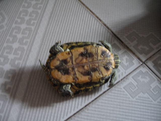 乌龟的指甲可以剪短吗?乌龟的指甲应该怎么剪短?