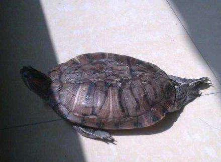 乌龟闭眼是睡觉了吗?怎么确定乌龟是不是得了白眼病?