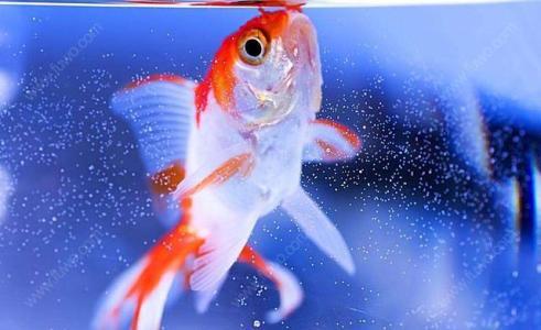 金鱼为什么不能喂太多?金鱼最多可以多久不吃东西?