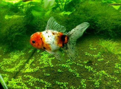 金鱼生病时能喂食吗?金鱼生病后应该怎么办?