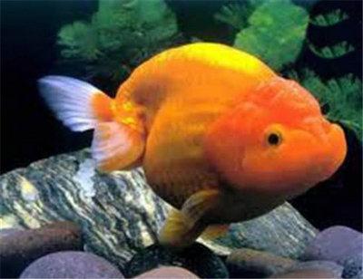 金鱼什么季节入手最合适?挑选金鱼的几大原则