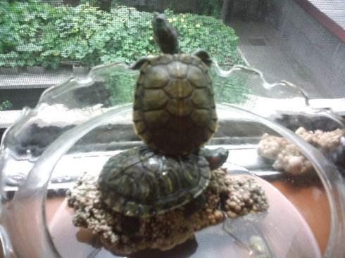 养巴西龟需要让它游泳吗?巴西龟可以一直干养吗?